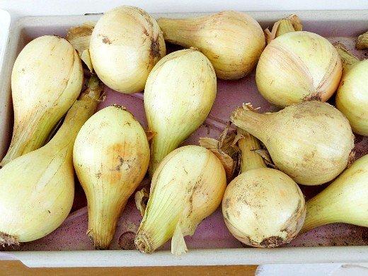 выращивание репчатого лука из севка - урожай белых овощей