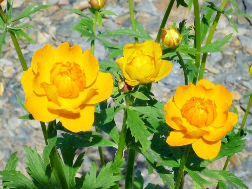 Цветы жарки — купальница