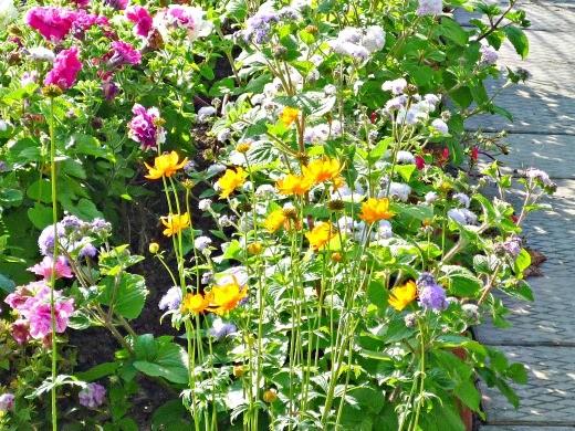 цветы жарки, растущие с агератумом