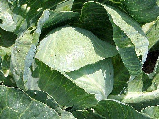 капуста белокочанная выращивание и уход - кочан