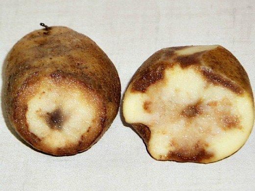 посадка и выращивание картофеля на даче - болезнь мокрая гниль