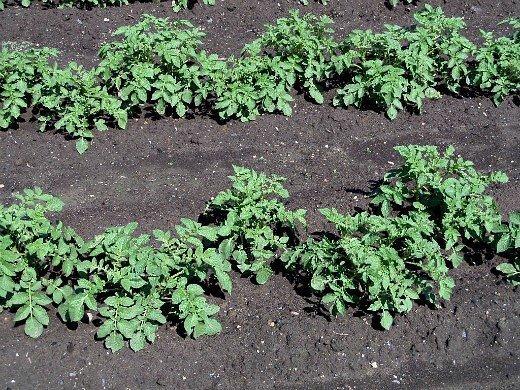 посадка и выращивание картофеля на даче - молодая зелень