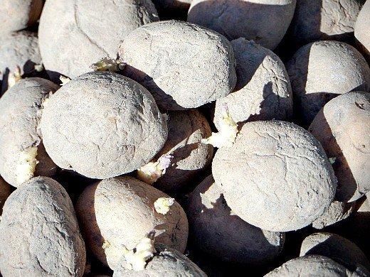 посадка и выращивание картофеля на даче - проросшие клубни