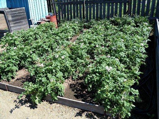 посадка и выращивание картофеля на даче - цветение