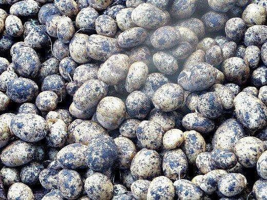посадка и выращивание картофеля на даче урожай