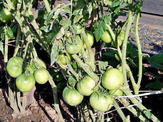 посадка и выращивание помидоров в открытом грунте - подвязывание томатов