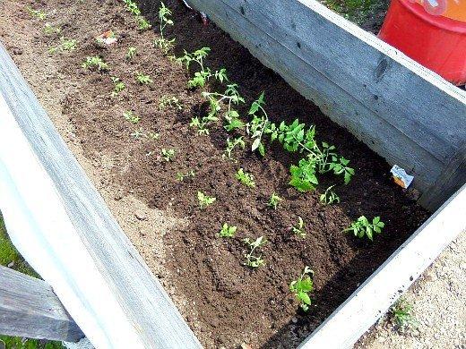 посадка и выращивание помидоров в открытом грунте - рассада томатов в парнике