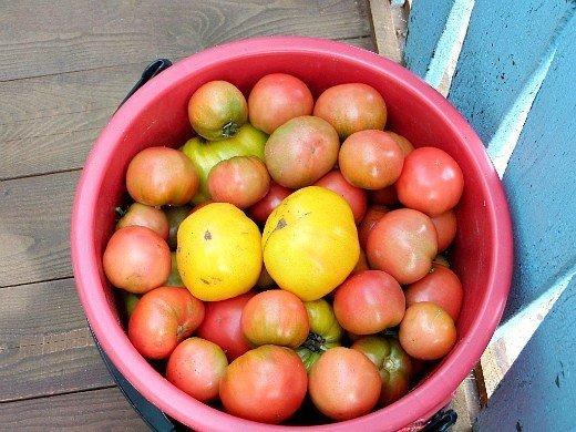 посадка и выращивание помидоров в открытом грунте - спелые томаты