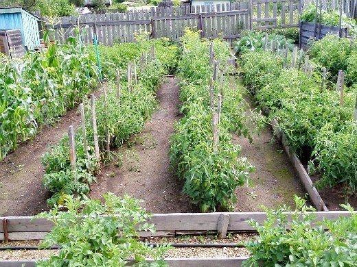посадка и выращивание помидоров в открытом грунте - узкие гряды с томатами