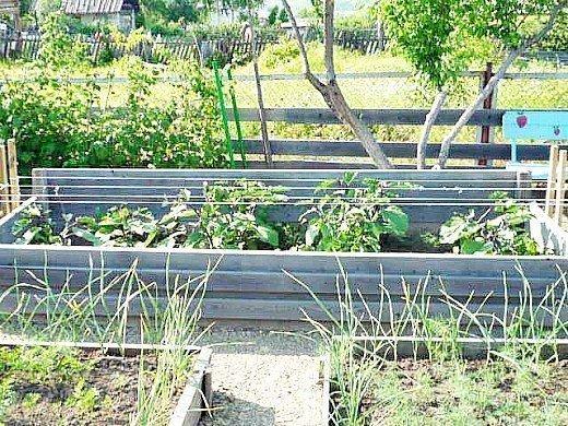 посадка рассады и выращивание баклажанов в дачном парнике