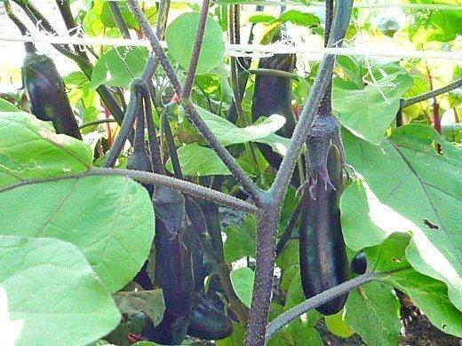посадка рассады и выращивание баклажанов в парнике - подвязка овощей
