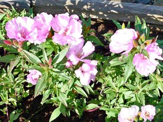 цветы розовой годеции, выращивание