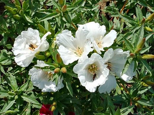 цветы белой годеции, выращивание