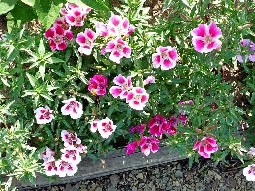 цветы двуцветной годеции, выращивание
