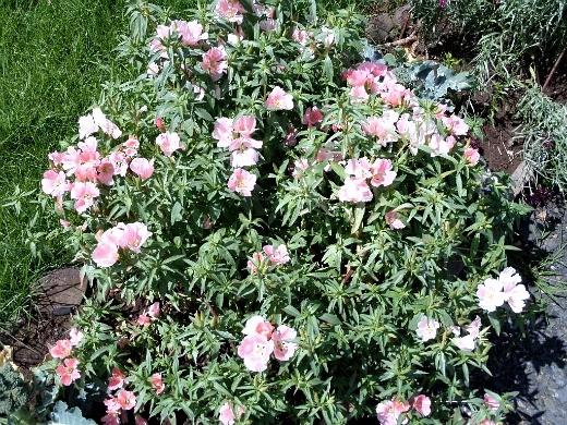 цветы годеция розовые, выращивание