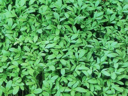 выращивание кресс-салата на даче, грядка