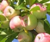 яблочный компот на зиму рецепт