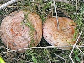 как солить грибы рыжики