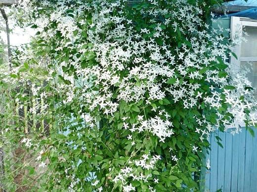белые клематисы на садовой перголе посадка, уход