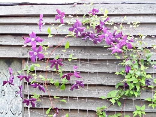 цветы клематисы на сетке посадка, уход