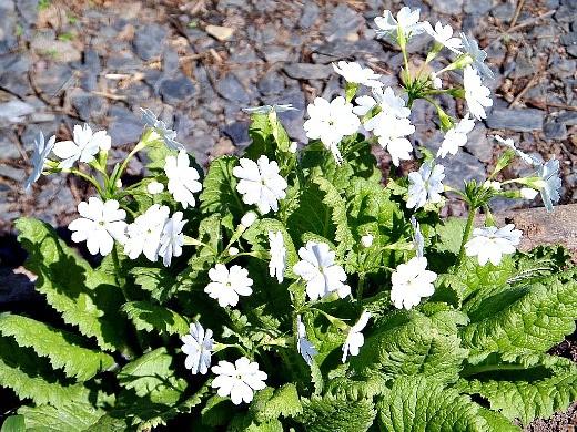 примула садовая многолетняя, белая - цветы на клумбе