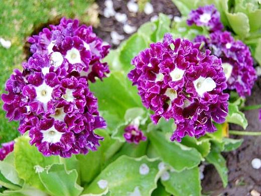 примула садовая многолетняя - махровая, с белой сердцевиной