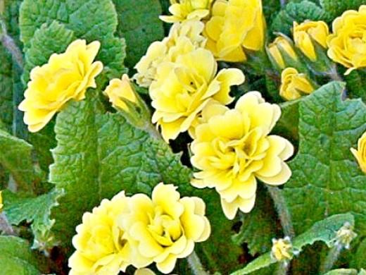 примула садовая многолетняя, желтая