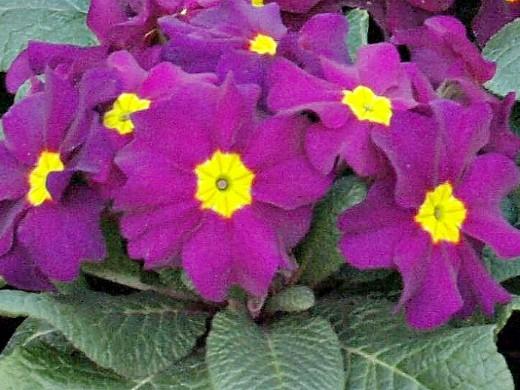 примула садовая многолетняя, фиолетовая