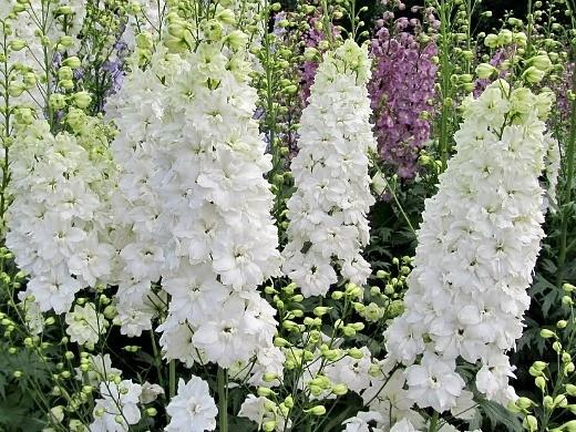 цветы дельфиниум многолетний - фото, посадка и уход, белые красавцы