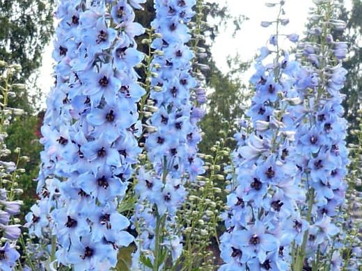 дельфиниум многолетний - фото, посадка и уход, голубые цветы