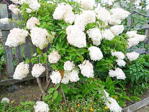 гортензия метельчатая садовая 1-1