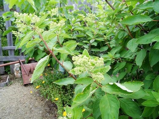 гортензия метельчатая садовая 1-3