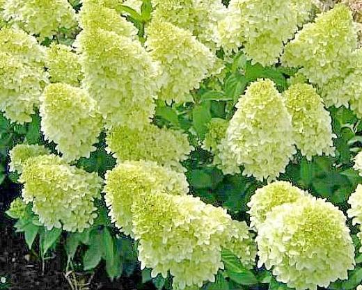 гортензия метельчатая садовая 1-4