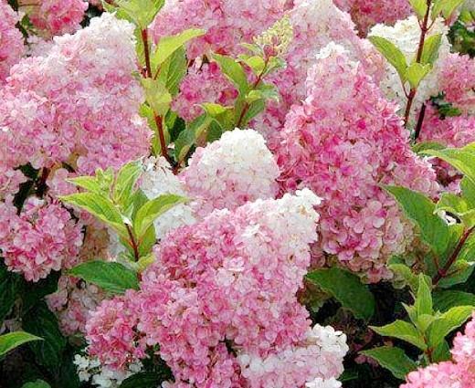 гортензия метельчатая садовая 1-5