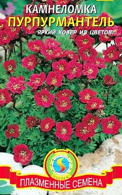 цветок камнеломка, посадка и уход, семена камнеломка сорт пурпурмантель