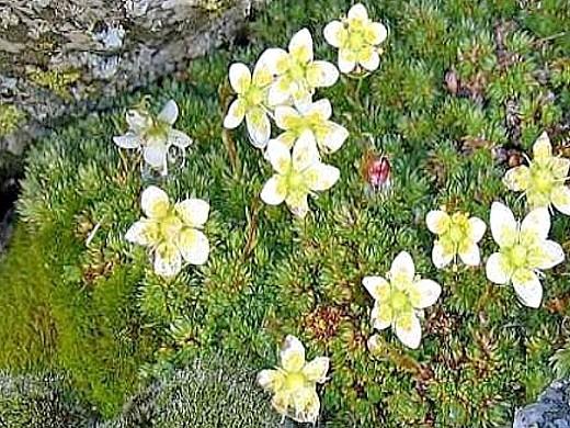 цветок камнеломка, посадка и уход на камнях