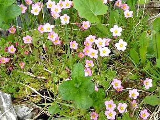 цветок камнеломка, посадка и уход на дачной клумбе