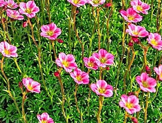 цветок камнеломка, посадка и уход - на альпийской горке