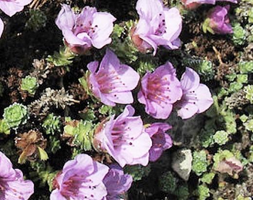 цветок камнеломка розовые, посадка и уход
