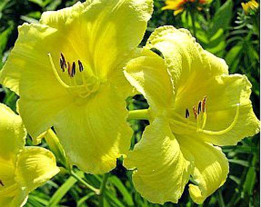 цветы лилейники желтые, фото и уход - на дачной клумбе