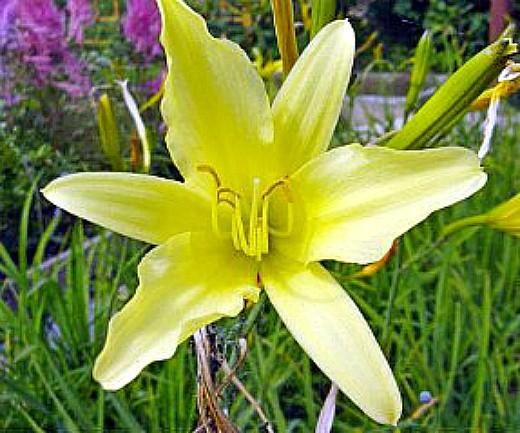 цветы лилейники лимонные, фото и уход