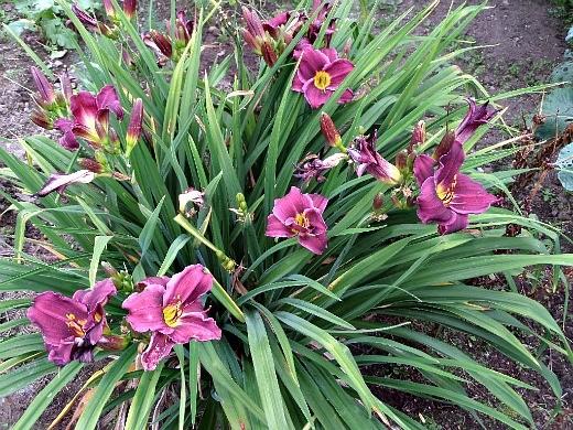 цветы лилейники низкорослые, фото и уход - на дачном участке