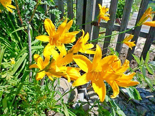 цветы лилейники - саранки, фото и уход