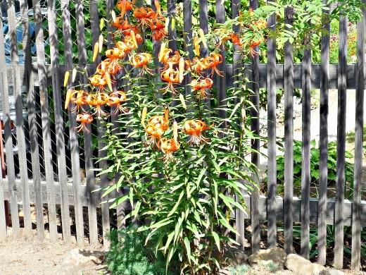 цветы лилии генри на даче в рабатке