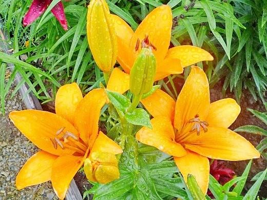 цветы азиатской оранжевой лилии на даче