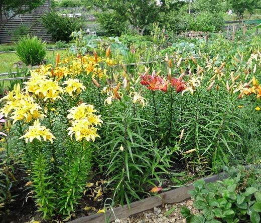 цветы азиатской лилии на дачной клумбе