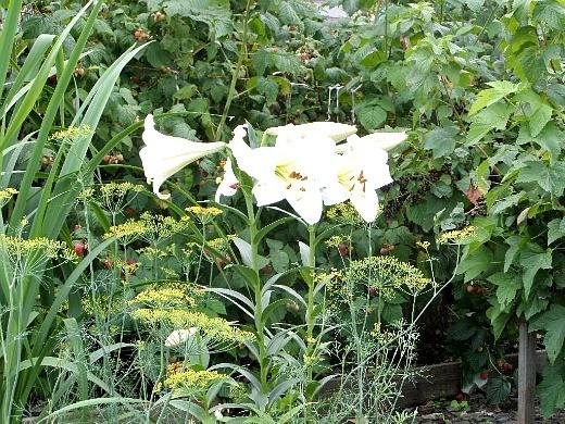 цветы белой восточной лилии на даче