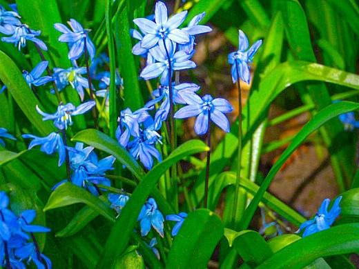 весенние цветы пролеска