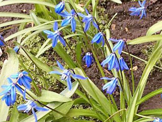 цветы пролеска - первоцвет на дачном участке