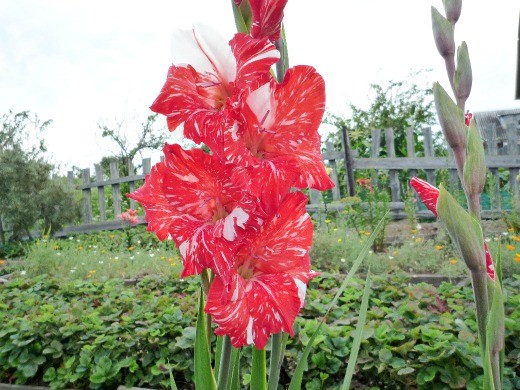 гладиолусы, сорт красно-белых красавцев - посадка, уход